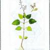Двулепестник альпийский — Circaea alpina