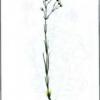 Еремогоне мелкожелезистая — Eremogone micradenia