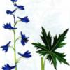 Живокость высокая — Delphinium elatum