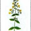 Зверобой волосистый — Hypericum hirsutum