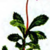 Зимолюбка зонтичная — Chimaphila umbellata