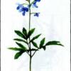 Зубянка пятилистная — Dentaria quinquefolia