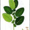 Ива грушанколистная — Salix pyroiifolia