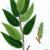 Ива лопарская — Salix lapponum