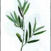 Ива розмаринолистная — Salix rosmarinifoiia
