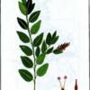 Ива черничная — Salix myrtilioides