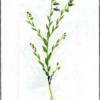 Истод сибириский — Polygala sibirica