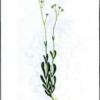 Качим высочайший — Gypsophila altissima