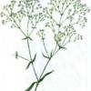 Качим метельчатый — Gypsophila paniculata