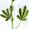 Лапчатка прямая — Potentilla recta