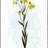 Лен желтый — Linum flavum