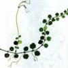 Линнея северная — Linnaea borealis