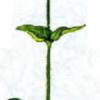 Лихнис халцедоновый — Lychnis chalcedonica