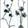 Лютик Гмелина — Ranunculus gmelinii
