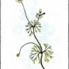 Лютик жестколистный — Ranunculus circinatus