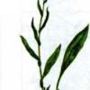 Медуница узколистная — Pulmonaria angustifolia