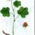 Морошка — Rubus chamaemorus