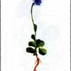 Одноцветка крупноцветная — Moneses uniflora