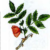 Роза Афцелиуса — Rosa afzeliana