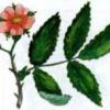 Роза волосистая — Rosa villosa