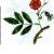Роза иглистая —  Rosa acicularis