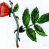Роза сизая — Rosa caesia