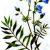 Синюха голубая — Polemonium caeruleum