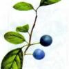 Слива колючая — Prunus spinosa