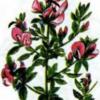 Стальник полевой — Ononis arvensis