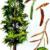 Тополь черный — Populus nigra