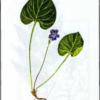 Фиалка лысая — Viola epipsila