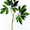 Хохлатка маршалла — Corydalis marschalliana