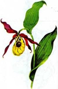 ВЕНЕРИН БАШМАЧОК НАСТОЯЩИЙ Cypripedium calceolus L. САРĂ ВЕНЕРА ПУШМАКĔ ce8b866a0865f