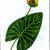 Кубышка малая — Nuphar pumila