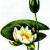 Кувшинка белая — Nymphaea alba
