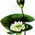 Кувшинка чисто-белая — Nymphaea candida