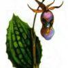 Калипсо луковичная —  Calypso bulbosa