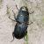Оленёк — Dorcus parallelipipedus
