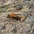 Батозонел ящеричный — Batozonellus lacerticida
