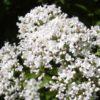 Валериана лекарственная — Valeriana officinalis