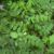 Астрагал солодколистный — Astragalus glycyphyllos