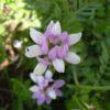 Вязель разноцветный — Securigera varia