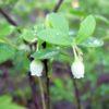 Голубика — Vaccinium uliginosum