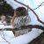Сычик воробьиный — Glaucidium passerinum