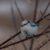 Лазоревка белая — Parus cyanus