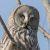 Неясыть бородатая — Strix nebulosa
