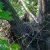 Орел-карлик — Hieraaetus pennatus