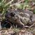 Чесночница обыкновенная — Pelobates fuscus