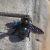 Пчела-плотник — Xylocopa valga