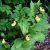 Венерин башмачок настоящий — Cypripedium calceolus